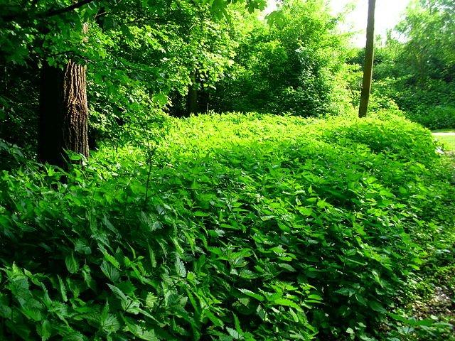 Stinging nettle bush
